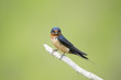 An adult Barn Swallow sits perched on a light branch against a smooth green background.