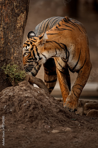 Fotobehang Leeuw Tiger female is sniffing fresh marks on a tree/wild animal in the nature habitat/India, what a look, close up