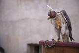 falco con cappuccio fastidioso