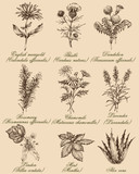 Fototapety Flowers and herbs set. Medicinal plants and spices hand drawn