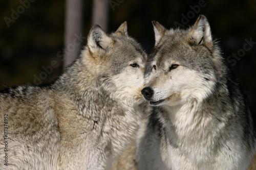 Plexiglas Wolf Gray Wolves