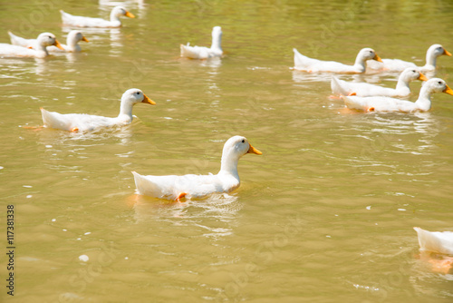 farm nature white duck swimming on pond or lake. Poster