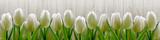 Fototapety White tulips on background wooden fence