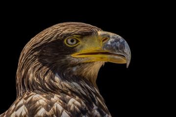 Adler - Porträt vor dunklem Hintergrund