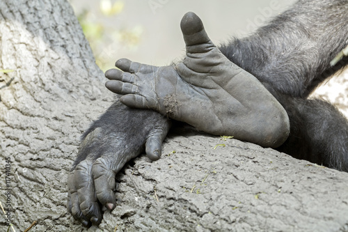 Poster Gorilla hand and feet