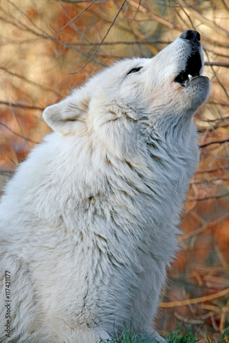 Howling white wolf Poster