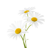 Three flowers of chamomile isolated on a white background - 117436700