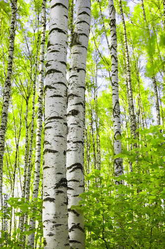 Poster Lime groen summer in birch forest