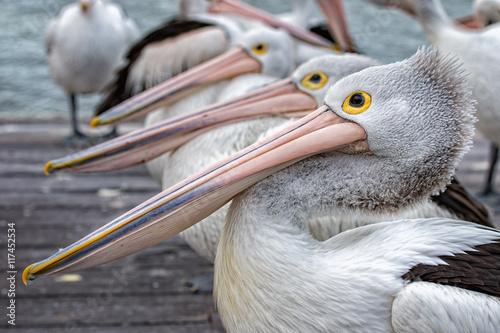 Fototapeta Pelican close up portrait on the beach