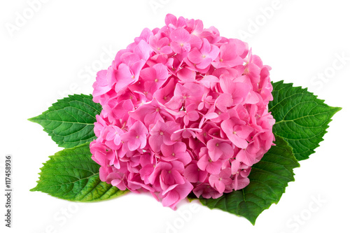 Fotobehang Hydrangea Hydrangea pink flower with green leaf on white