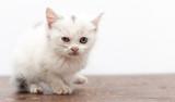 beautiful little white kitten dirty