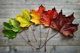 Fototapety Autumn Maple leaf transition