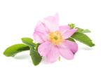 wild rose - 117525942