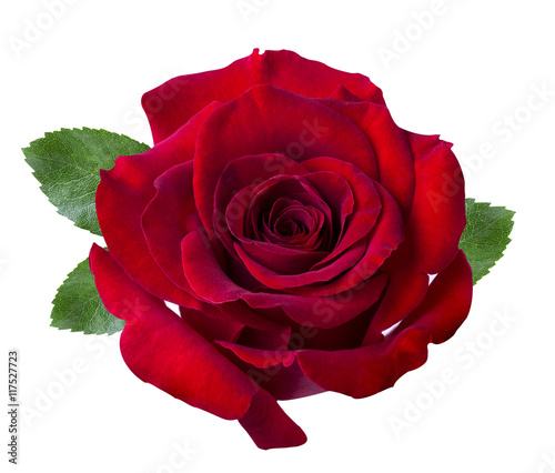 Red rose isolated on the white
