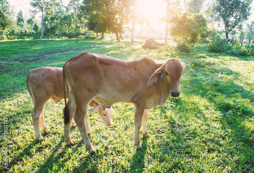 Poster Young calf on grass in the garden with morning light, selective focus