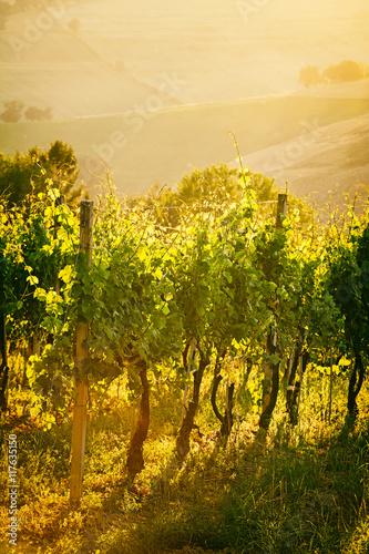 Fototapeta Vineyard rows in backlight in Marche, Italy