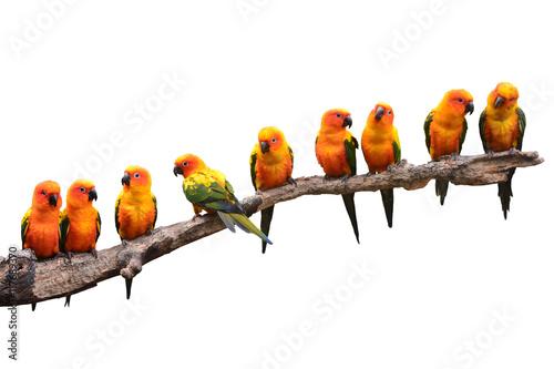 Poster Sun Conure Parrot bird