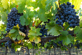 Bunches of ripe, red wine grapes hanging in a California vineyard. Bright green grape leaves and plump purple grapevines in Napa Valley.