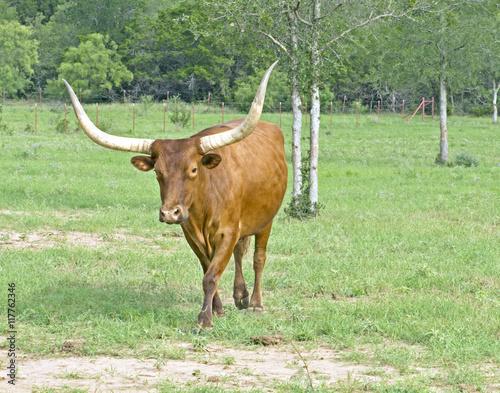 Poster Texas Longhorn bull in motion across grassland