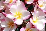 Pinkgeränderte Frangipaniblüten