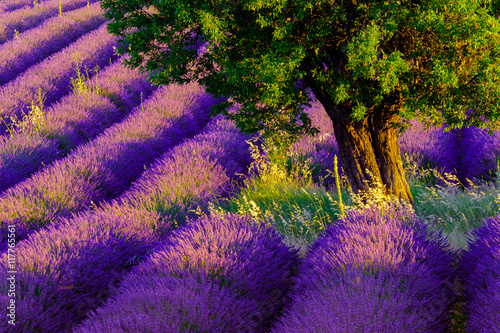 Fototapeta Lavender field at plateau Valensole, Provence, France