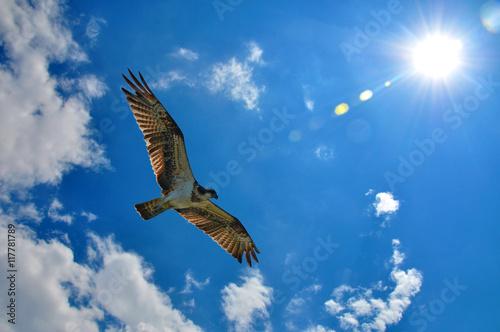 Poster Western Osprey