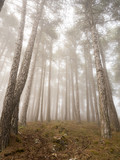 Enchanted foggy forest of pines