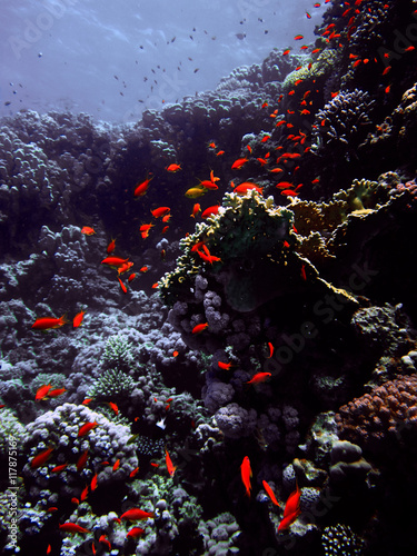 Red small fish with hard and soft colals. Coral reef on the sand