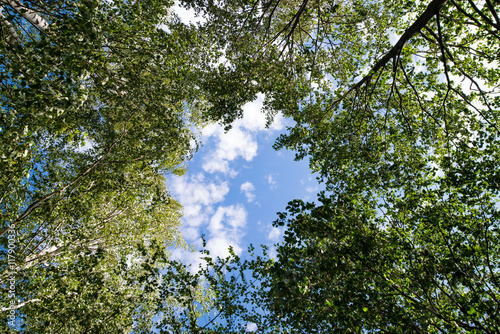Birch trees arrangement in forest with blue sky