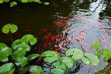 water lilies and koi fish