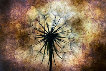 Dandelion against grunge background