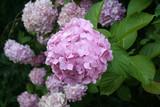 ortensia rosa in fiore in giardino