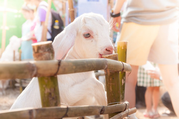 white baby goat playing with bamboo fence ,Close up of white goats in farm,Baby goat in a farm