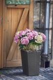 Hydrangeas are popular ornamental plants as a decoration of street