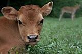 Jersey Bull Calf In Pasture