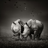 Two Rhinoceros with birds in BW