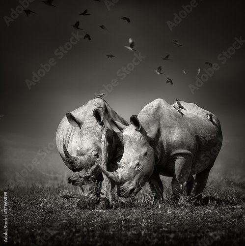 Two Rhinoceros with birds in BW - 117968999