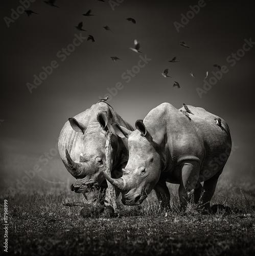 Two Rhinoceros with birds in BW - 117968999