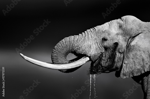 Poster, Tablou Elephant bull drinking water