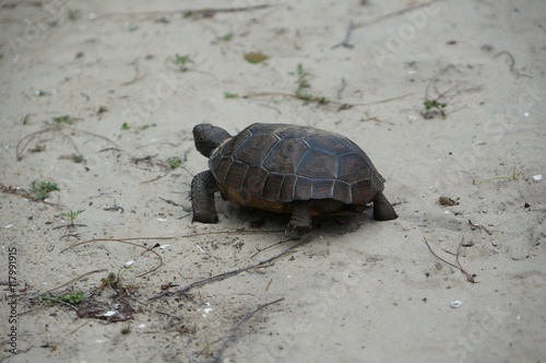 endangered gopher tortoise in Florida Poster