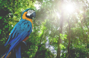 Blue and Yellow Macaw in the nature