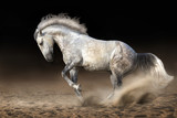 Fototapety Grey andalusian horse in motion at dramatic background