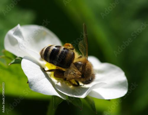 Zdjęcia na płótnie, fototapety, obrazy : Bee on the flower