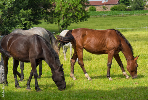 beautiful horses in a meadow