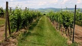 Rows of green tree of grapes in a vineyard, South Moravia, Czech republic