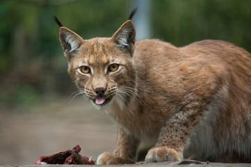 Northern lynx (Lynx lynx lynx).