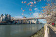 Roosevelt Island during cherry blossom in New York City