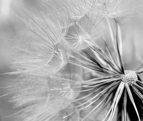 dandelion © studybos