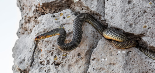 Yellow-bellied snake basking in the sun in a stone crack. The bi