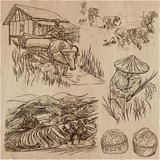 Rice crop. Agriculture. An hand drawn vector set. - 118150145